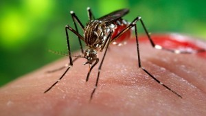 sn-mosquitoes_2